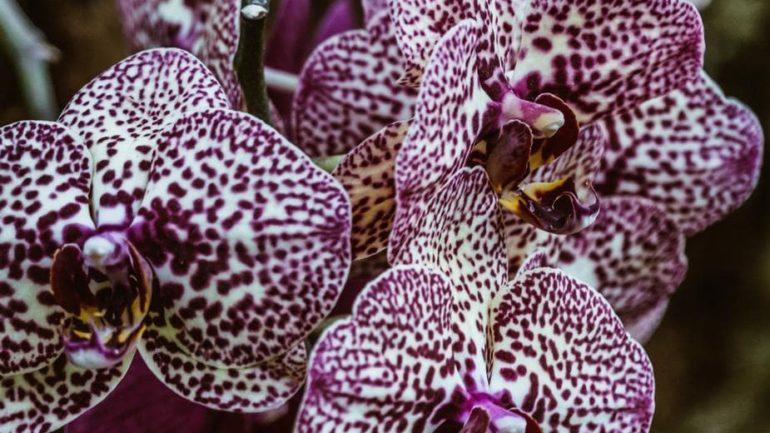 Des glaçons pour les orchidées ?
